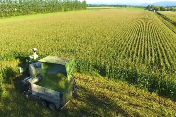 デントコーン収穫
