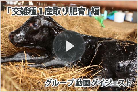 グループ動画「交雑種1産取り肥育」編