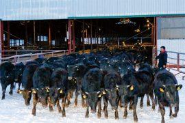 地域共生シリーズ⑤ 和牛・交雑種の育成事業